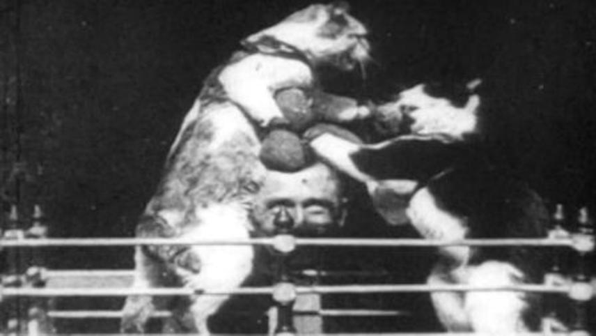 Кошачий бокс 1894 the boxing cats prof weltons