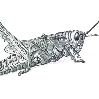 Grasshopper foto de perfil