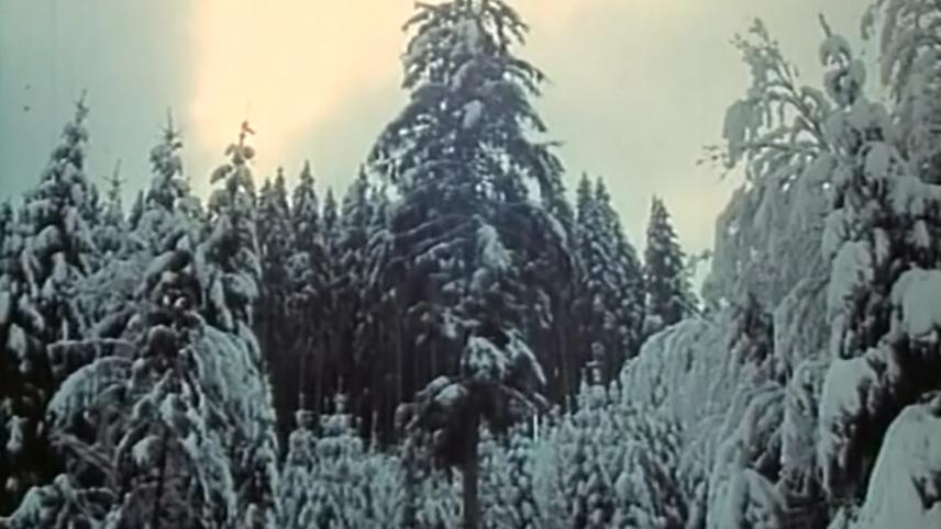 The Legend of the Silver Fir