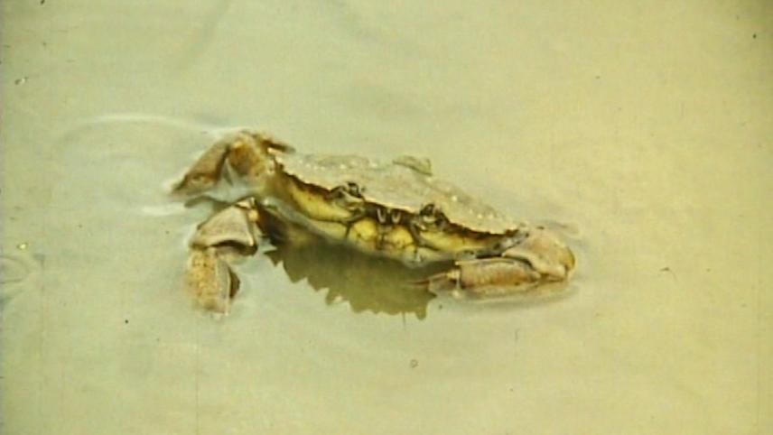 L'Enfouissement du crabe