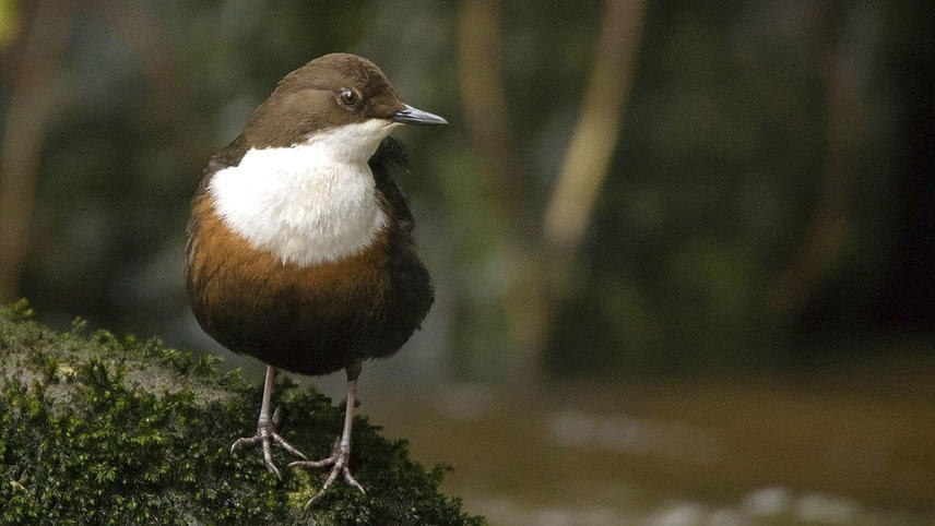 Dipper from the Water of Leith