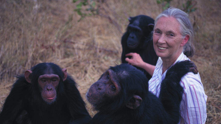 Jane Goodall's Wild Chimpanzees