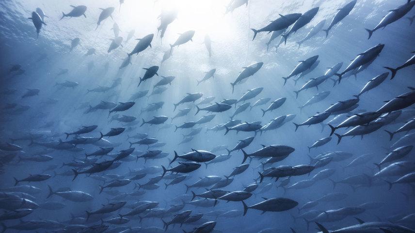 As If We Were Tuna