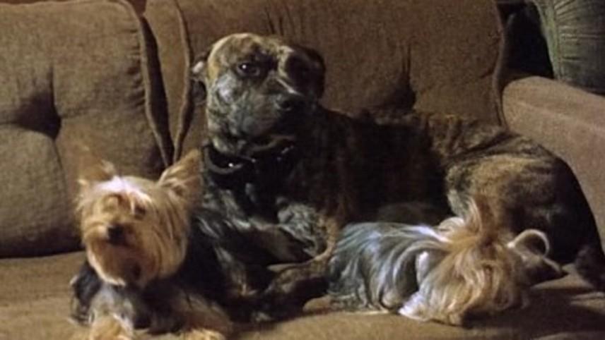 Dogs of Velvet and Steel