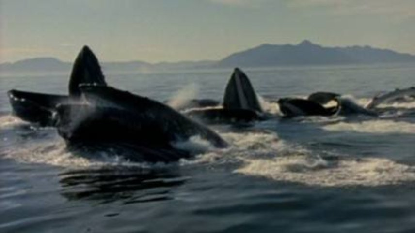 Humpback Whale: The Giant of the Oceans