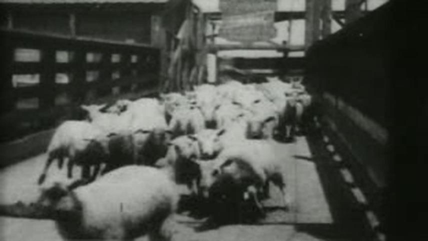 Sheep Run, Chicago Stockyards